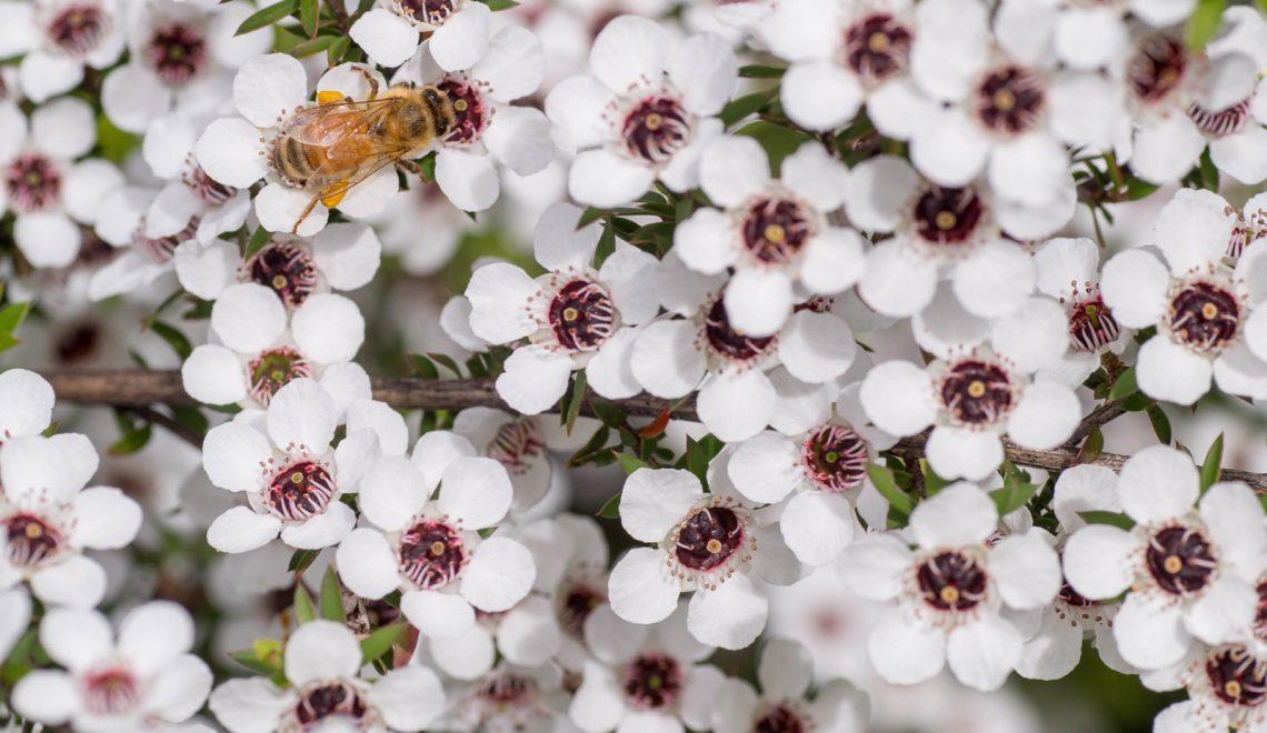 a bee on Manuka flowers